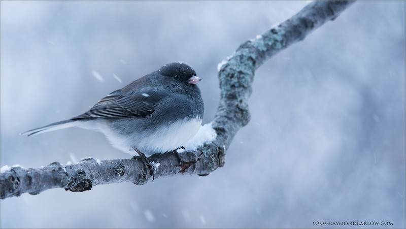 "Dark eyed Junco<br /> Raymond's Ontario Nature Tours<br /> <br />  <a href=""http://www.raymondbarlow.com"">http://www.raymondbarlow.com</a><br /> ray@raymondbarlow.com<br /> Nikon D810 ,Nikkor 200-400mm f/4G ED-IF AF-S VR<br /> 1/125s f/7.1 at 400.0mm iso2000"
