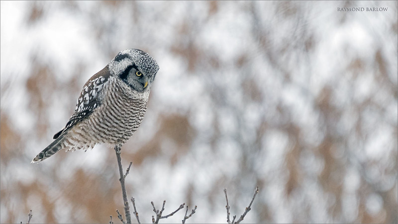 "This owl has lunch in sight!<br /> Image taken just before it hovered for 9-10 seconds.<br /> <br /> Northern Hawk Owl hunting<br /> Ontario, Canada<br /> <br />  <a href=""http://www.raymondbarlow.com"">http://www.raymondbarlow.com</a><br /> Sony Alpha α7R IV ,Sony 100-400GM<br /> 1/800s f/5.6 at 400.0mm iso1000"