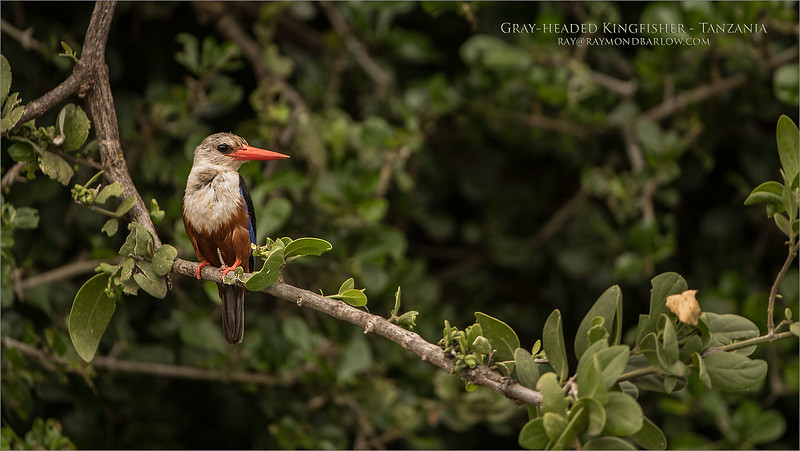 Gray-headed kingfisher<br /> Tanzania - February 2018<br /> <br /> Straight from the plane to the first game drive, no rest for eager photographers! And such luck!<br /> <br /> Thanks for looking! <br /> <br /> Gray headed Kingfisher<br /> Raymond Barlow Photo Tours to Tanzania Wildlife and Nature<br /> <br /> ray@raymondbarlow.com<br /> Nikon D850 ,Nikkor 200-400mm f/4G ED-IF AF-S VR<br /> 1/80s f/4.0 at 400.0mm iso500