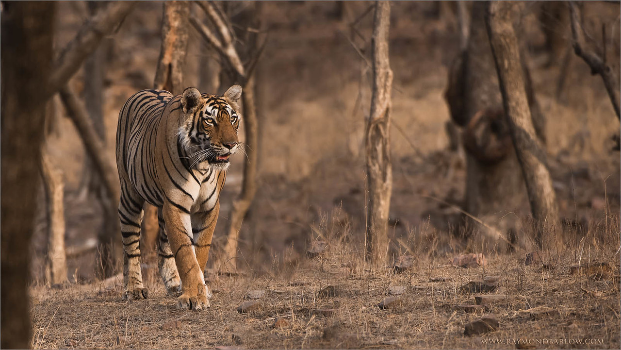 Tigress Arrowhead Hunting for Food<br /> Raymond's Wild Tiger Photography Tours<br /> <br /> Thanks to India for protecting these Tigers!<br /> <br /> ray@raymondbarlow.com<br /> Nikon D810 ,Nikkor 200-400mm f/4G ED-IF AF-S VR<br /> 1/640s f/5.0 at 400.0mm iso1250