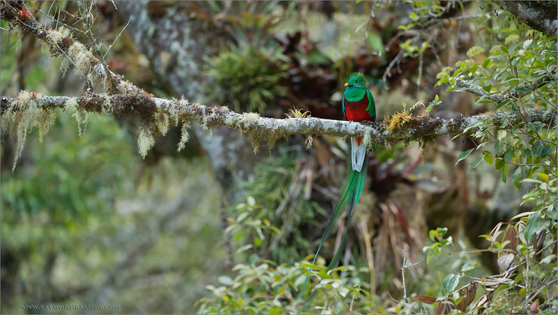 "Such Color!<br /> <br /> Special workshops to enjoy the color of nature, and the beauty!<br /> <br /> Can we imagine anything more spectacular then this bird?  The iridescent feathers set the Quetzal apart from most any other bird in the world.  The soft greens and blues paired with the incredible rouge breast feathers make this bird something very special to see.<br /> <br /> A clear image with complimentary environment can be most difficult.  Hosting a group of keen photographers who were really dedicated to capturing this bird adds a specific type of excitement when a scene like this presents itself. <br /> <br /> I feel this bird has a sense of ""show"".  We waited patently for about 1.5 hours, he looked at me and decided it was time to model for my guests.  After jumping out of my skin, we quickly moved into the best possible position for a view, keeping our distance, leaving the bird it's comfort zone.<br /> <br /> Enjoy nature, respect all creatures, provide good environment with clean air and water for many generations to see and photograph!<br /> <br /> <br /> Resplendent Quetzal<br /> RJB Colours of Costa Rica Tour<br /> ray@raymondbarlow.com<br /> 1/200s f/4.0 at 260.0mm iso1000"