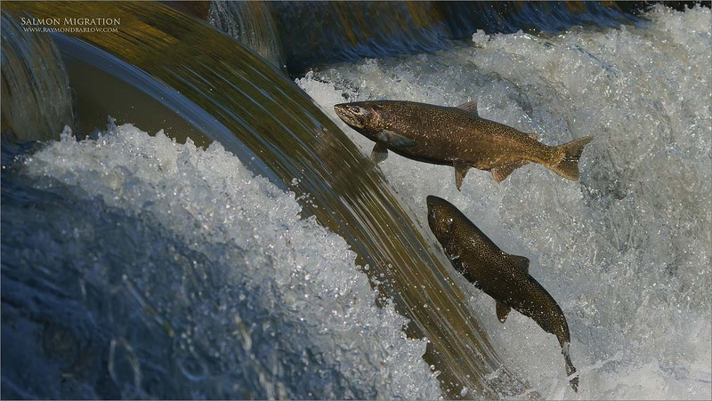 Two fish in Flight!<br /> <br /> Salmon Migration<br /> Southern Ontario,  2020<br /> A9 + 200-600OSS<br /> Jobu Gimbal head and Algonquin tripod