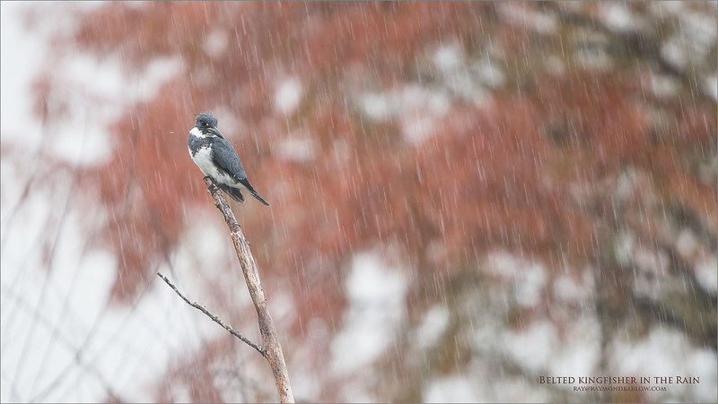 Home from Florida, we had a good trip., 3 days of shooting and around 2700 images, and lots of good sightings. Thanks to Harry Hersh!<br /> <br /> Belted Kingfisher in the Rain (shooting from inside the truck!)<br /> <br /> Orlando, Florida<br /> <br /> ray@raymondbarlow.com<br /> Nikon D850 ,Nikkor 200-400mm f/4G ED-IF AF-S VR<br /> 1/200s f/4.0 at 400.0mm iso400