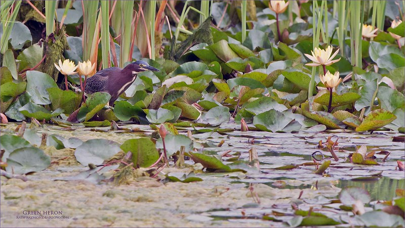 Great fun watching this beauty hunt for lunch in South Texas.<br /> <br /> As you can see, environmental images that tell a story are what appeals to me.<br /> <br /> Green heron<br /> South Texas<br /> <br /> ray@raymondbarlow.com<br /> Nikon D850 ,Nikkor 200-400mm f/4G ED-IF AF-S VR<br /> 1/320s f/7.1 at 400.0mm iso500