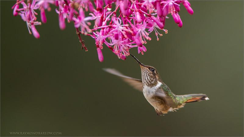 DSC_0124 Volcano Hummingbird 1600 share