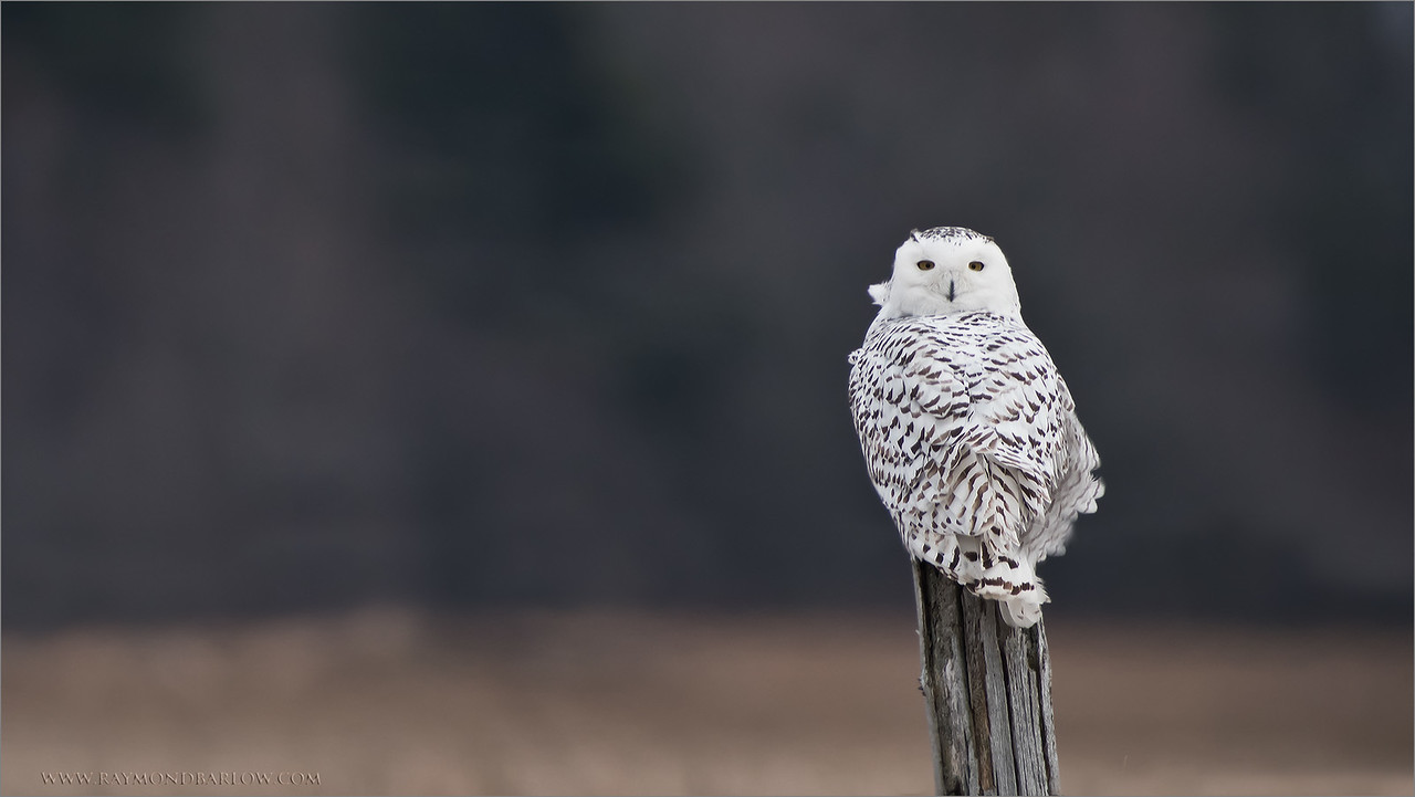 Snowy on a Post<br /> Raymond's Ontario Nature Tours<br /> <br /> *Snowy Owl * Adventures*<br /> <br /> Coaching photographers with new techniques is so<br /> much fun, and rewarding when I see so much improvement!<br /> <br /> Join me on my next adventure!<br /> ray@raymondbarlow.com<br /> Nikon D810 ,Swarovski Spotting Scope 95 mm- 1370mm Eff.<br /> 1/400s f/9.5 iso800