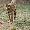 Tiger on the Prowl<br /> Raymond's India Photo Tours<br /> <br /> ray@raymondbarlow.com<br /> Nikon D800 ,Nikkor 200-400mm f/4G ED-IF AF-S VR<br /> 1/1600s f/5.0 at 310.0mm iso2500