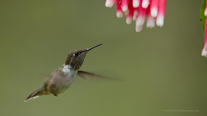 RJB_1162 Volcano Hummingbird 1600 share