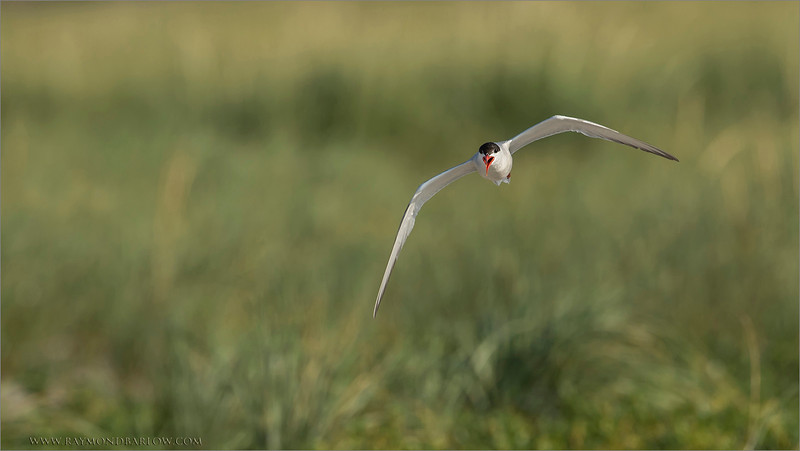 Life on the Beach<br /> A trip to the east coast this week was excellent!<br /> <br /> Common Tern in Flight<br /> RJB Bird Photography Tours<br /> <br /> ray@raymondbarlow.com<br /> 1/2000s f/8.0 at 600.0mm iso800<br /> D4s - 600 f4