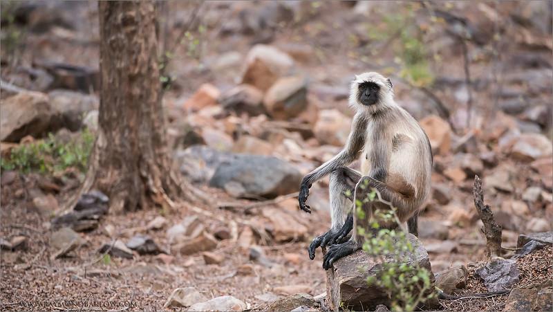 RJB_0930 Monkey on a Rock 1600 share