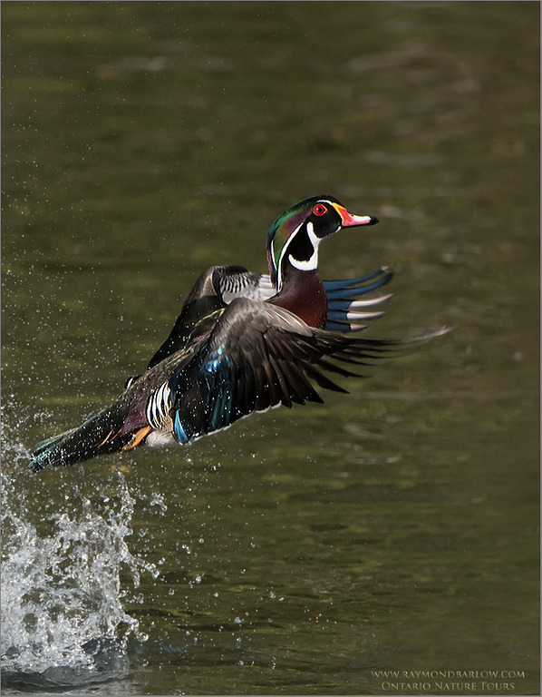 Wood duck Lift Off!<br /> Photo workshops