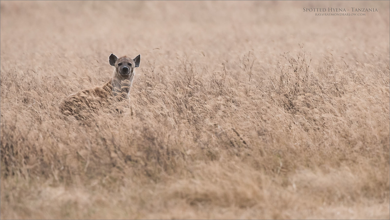 Spotted Hyena - Tanzania<br /> Raymond Barlow Photo Tours to Tanzania Wildlife and Nature<br /> <br /> ray@raymondbarlow.com<br /> Nikon D810 ,Nikkor 200-400mm f/4G ED-IF AF-S VR<br /> 1/2500s f/6.3 at 400.0mm iso1600