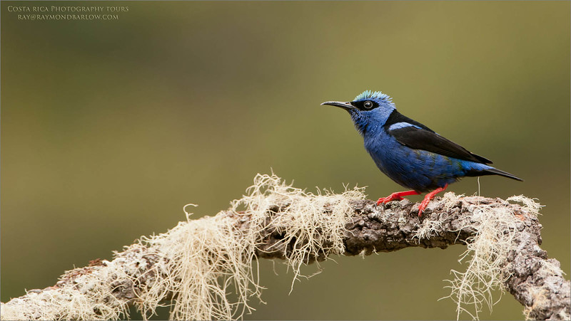 Red-legged honeycreeper<br /> Raymond's Costa Rica Photo Tours<br /> <br /> ray@raymondbarlow.com<br /> Nikon D300 ,Nikkor 200-400mm f/4G ED-IF AF-S VR<br /> 1/250s f/5.0 at 400.0mm iso250