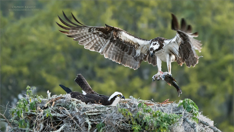 These adults are on egg/s, taking turns eating a nice sized fish first thing in the morning.  Amazing, how the have a very specific eating perch, away from the nest, so they do not make a mess in the home of the new chick!<br /> <br /> Superb opportunity! <br /> <br /> Osprey with Breakfast<br /> Orlando, Florida<br /> <br /> ray@raymondbarlow.com<br /> Nikon D850 ,Nikkor 200-400mm f/4G ED-IF AF-S VR<br /> 1/1000s f/6.3 at 240.0mm iso1600