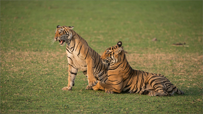 RJB_1288 Tigers in Play 1600 share