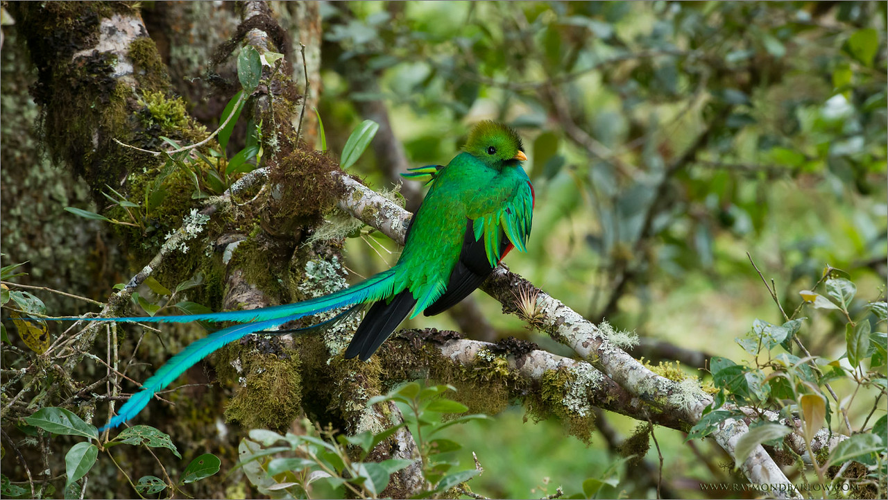 Travel to Costa Rica<br /> <br /> And see this amazing bird float in the wind!<br /> <br /> During my programs down south we might make as many as 3 trips to a private property to see the resplendent quetzal.  A short hike into the mountain, sit and wait, and hope this awesome bird will join us for some imaging!<br /> <br /> Resplendent Quetzal<br /> RJB Colours of Costa Rica Tour<br /> ray@raymondbarlow.com<br /> 1/320s f/6.3 at 360.0mm iso1600