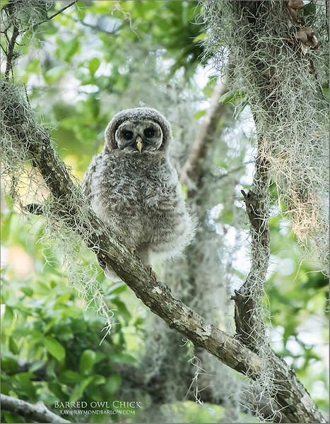 Barred Owl Chick<br /> Raymond Barlow - Wildlife and Nature<br /> <br /> ray@raymondbarlow.com<br /> Nikon D850 ,Nikkor 200-400mm f/4G ED-IF AF-S VR<br /> 1/250s f/4.0 at 400.0mm iso2000