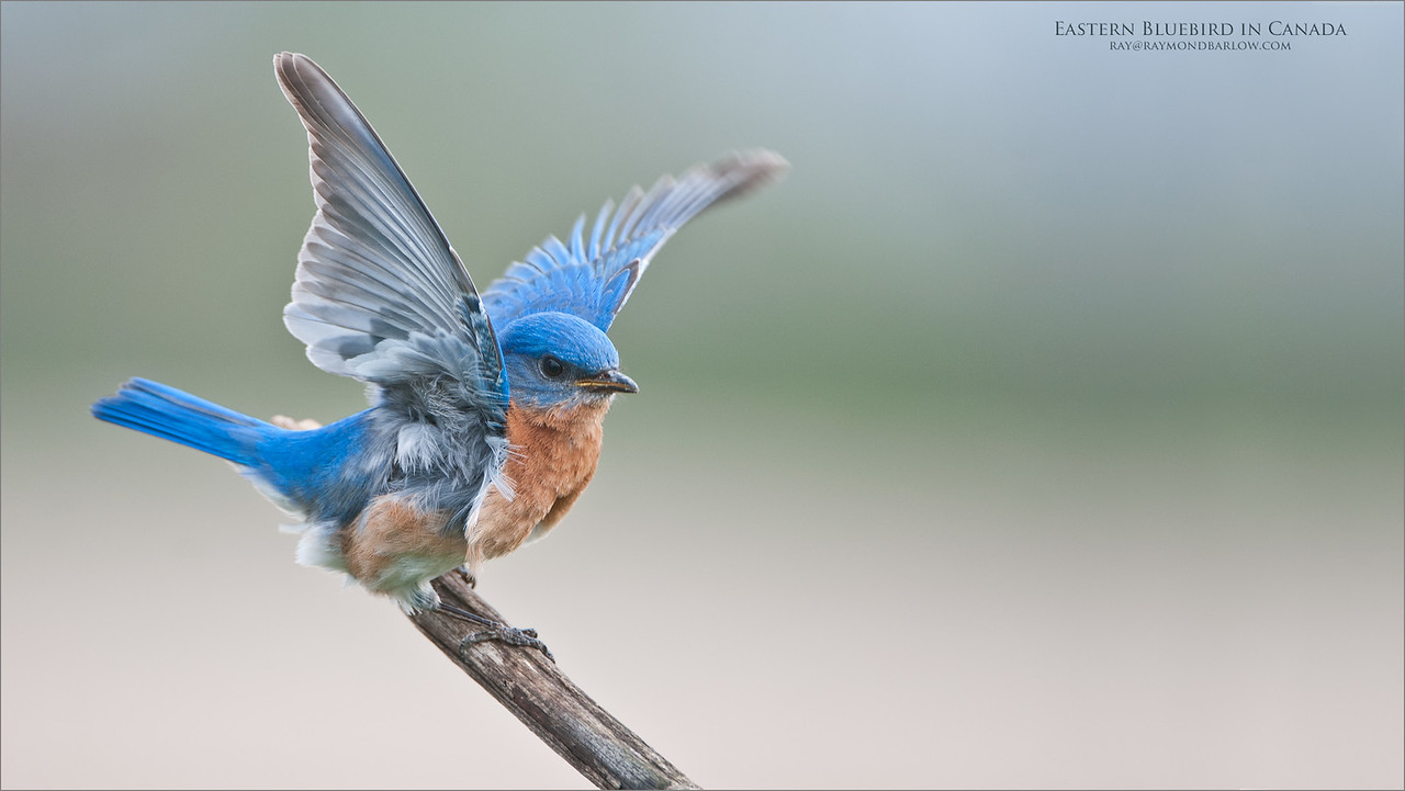 Eastern Bluebird - Wings up<br /> Raymond's Canada Nature Photography Tours<br /> <br /> ray@raymondbarlow.com<br /> Nikon D300 ,Nikkor 200-400mm f/4G ED-IF AF-S VR<br /> 1/320s f/4.0 at 400.0mm iso250