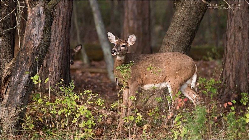 White-tailed Deer<br /> Raymond Barlow Photo Tours to USA - Wildlife and Nature<br /> <br /> ray@raymondbarlow.com<br /> Nikon D810 ,Nikkor 200-400mm f/4G ED-IF AF-S VR<br /> 1/250s f/4.0 at 350.0mm iso2000