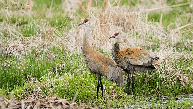 Sandhill cranes near Paris.<br /> <br /> A fun morning out with a bunch of guys and these two Sandhills entertained us for a couple hours.  They hatched two chicks on the previous day, but it seems a predator took these new arrivals.  <br /> <br /> We think it was quite possibly coyotes, or a mink.  Unfortunate, but that is nature.<br /> <br /> Thanks for looking!