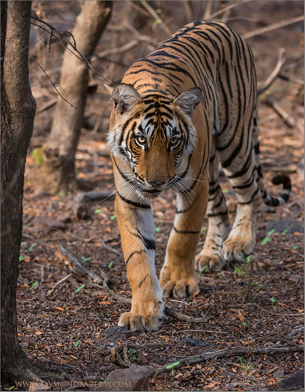 "Royal Bengal Tiger - Ranthambore NP.<br /> RJB India Photo Tours<br /> <br /> <a href=""http://raymondbarlowworkshops.blogspot.ca/2014/06/raymond-barlows-bengal-tiger-tour.html"">http://raymondbarlowworkshops.blogspot.ca/2014/06/raymond-barlows-bengal-tiger-tour.html</a><br /> 1/2000s f/5.6 at 200.0mm iso3200"