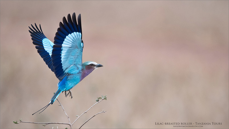 Lilac-breasted roller Lift Off!<br /> Raymond Barlow Photo Tours to Tanzania Wildlife and Nature<br /> <br /> ray@raymondbarlow.com<br /> Nikon D810 ,Nikkor 200-400mm f/4G ED-IF AF-S VR<br /> 1/4000s f/4.0 at 400.0mm iso2500