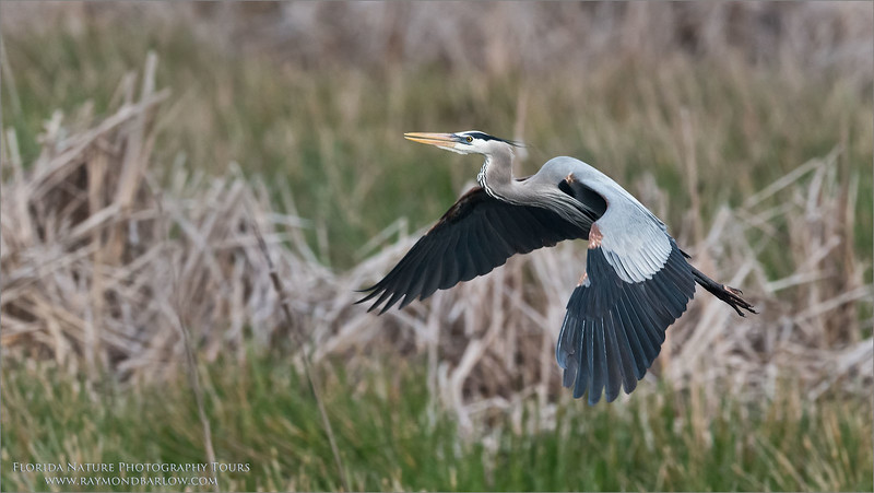Great Blue Heron in Flight<br /> Raymond Barlow Photo Tours to USA - Wildlife and Nature<br /> <br /> Florida Photography Tours<br /> Nikon D810 ,Nikkor 600 mm f/4 ED<br /> 1/800s f/6.3 at 600.0mm iso1250