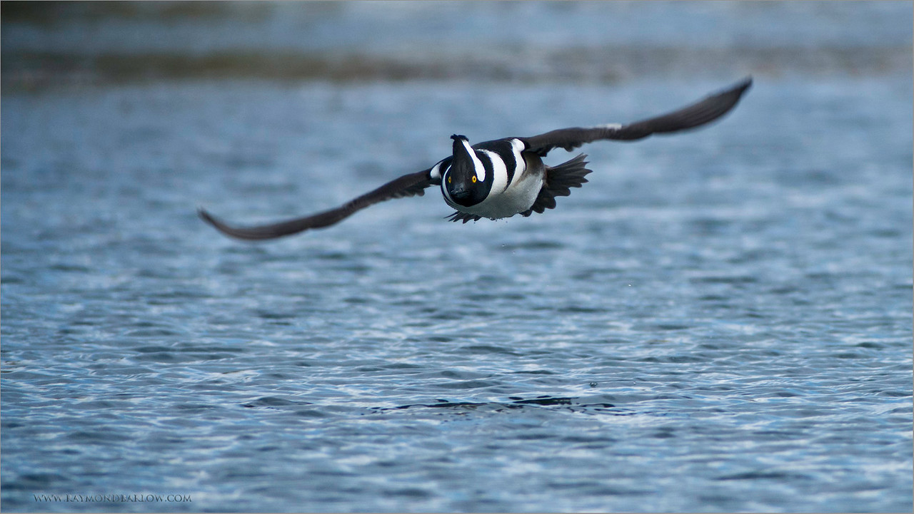 Hooded Merganzer in Flight<br /> RJB Wild Birds of Ontario Workshops<br /> Nikon D800 <br /> Swarovski Telescope STX 30 x 95mm - 1350 mm<br /> 1/1000s f/1.0 iso800
