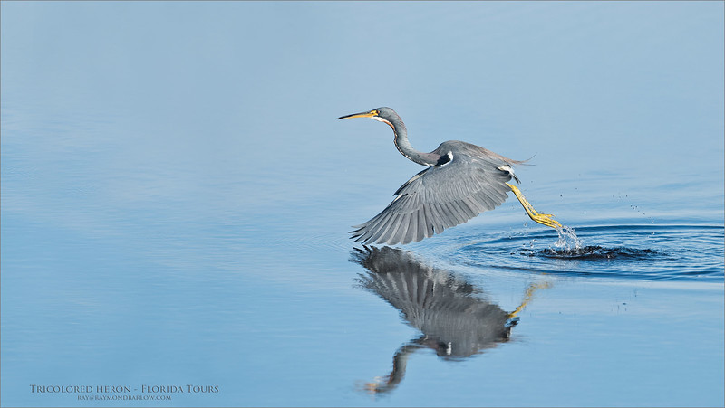 Tri-coloured Heron Lift Off<br /> Raymond Barlow Photo Tours to USA - Wildlife and Nature<br /> <br /> ray@raymondbarlow.com<br /> Nikon D810 ,Nikkor 200-400mm f/4G ED-IF AF-S VR<br /> 1/3200s f/5.6 at 600.0mm iso800