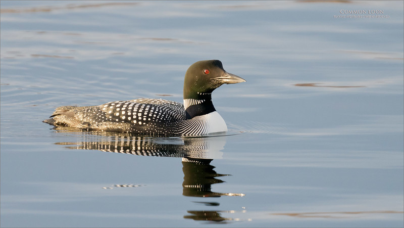 We found some very pretty common loons navigates a minnow infested bay up north of Toronto, Canada.<br /> <br /> Maria and my new friend Li had a blast as a few of these beauty's came in so close for a visit!   I hope to try again soon!<br /> <br /> Thanks for looking<br /> raymondjbarlow@yahoo.ca