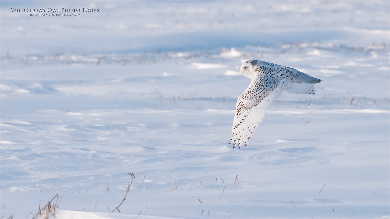 Snowy Owl in Flight - Photo Tours to Wild Owls - **Never Baited**.<br /> Raymond's Ontario Nature Photography Tours<br /> <br /> ray@raymondbarlow.com<br /> Nikon D810 ,Nikkor 200-400mm f/4G ED-IF AF-S VR<br /> 1/2500s f/6.3 at 400.0mm iso1000