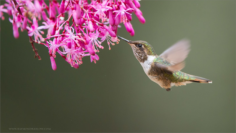 "The Female Volcano Hummingbird<br /> <br /> Such a princess!<br /> <br /> Much like a bee, she floats around the flowers, trying to stay out of the larger birds way.  She is a beauty!<br /> <br /> Thanks for looking!<br /> <br /> Volcano Hummingbird in Flight<br /> RJB Costa Rica Tours<br />  <a href=""http://www.raymondbarlow.com"">http://www.raymondbarlow.com</a><br /> 1/1600s f/4.0 at 400.0mm iso3200"