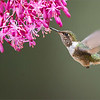 """The Female Volcano Hummingbird<br /> <br /> Such a princess!<br /> <br /> Much like a bee, she floats around the flowers, trying to stay out of the larger birds way.  She is a beauty!<br /> <br /> Thanks for looking!<br /> <br /> Volcano Hummingbird in Flight<br /> RJB Costa Rica Tours<br />  <a href=""""http://www.raymondbarlow.com"""">http://www.raymondbarlow.com</a><br /> 1/1600s f/4.0 at 400.0mm iso3200"""