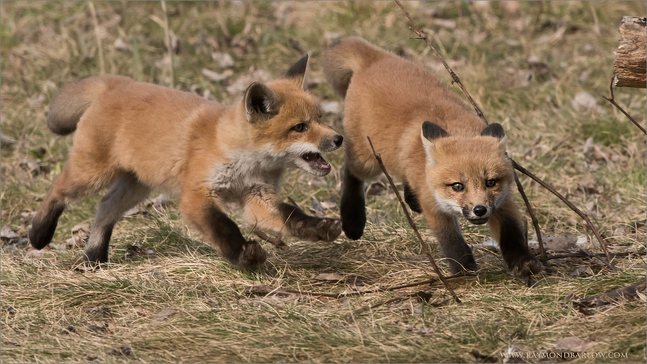 Fox Kits in Chase<br /> Raymond's Ontario Nature Photography Tours<br /> <br /> ray@raymondbarlow.com<br /> Nikon D810 ,Nikkor 200-400mm f/4G ED-IF AF-S VR<br /> 1/1000s f/10.0 at 400.0mm iso1000