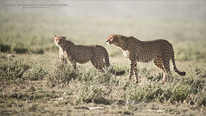 We had one morning with some high winds and dust, here the mother and cub are trying to navigate to the water hole after a good feeding.<br /> <br /> Cheetah Mother and Cub in a Dust Storm<br /> Tanzania, Africa<br /> <br /> ray@raymondbarlow.com<br /> Nikon D850 ,Nikkor 200-400mm f/4G ED-IF AF-S VR<br /> 1/4000s f/4.0 at 350.0mm iso640