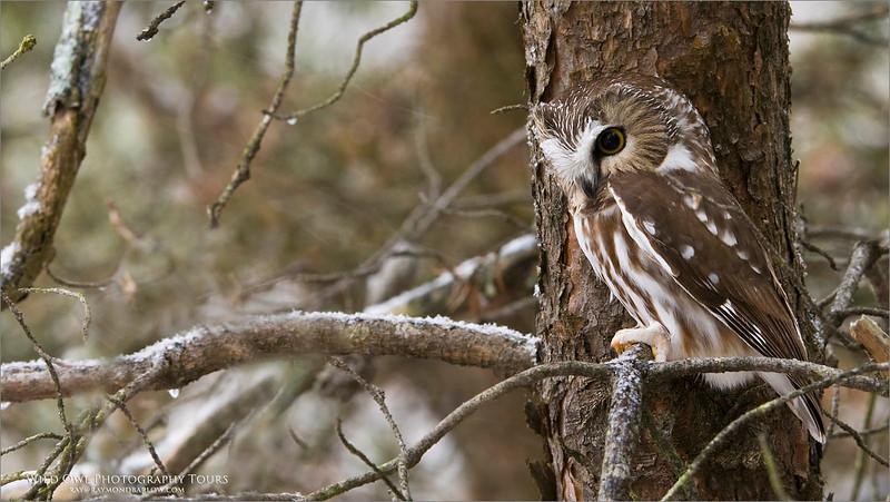 Saw-whet Owl - Ontario