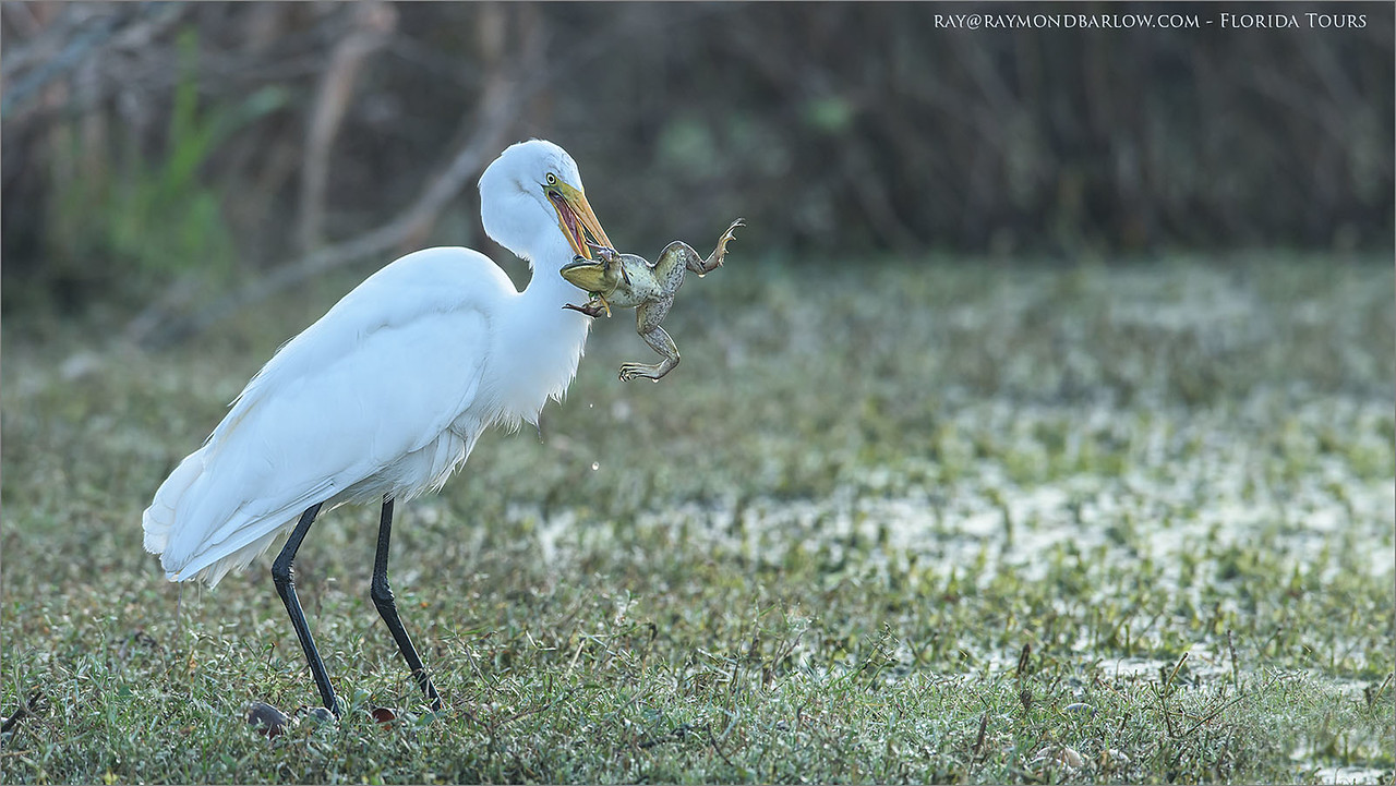 Great Egret and Great Frog - Florida<br /> Raymond's USA Photography Tours<br /> <br /> raymondbarlow.com<br /> Nikon D810 ,Nikkor 600 mm f/4 ED<br /> 1/640s f/5.6 at 600.0mm iso1000