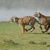 """An Awesome Day in India!<br /> <br /> Many more images to come!  Thanks for looking..<br /> <br /> Please help save nature!<br /> <br /> <br /> Tigers on the Run - 2<br /> RJB India Tours<br />  <a href=""""http://www.raymondbarlow.com"""">http://www.raymondbarlow.com</a><br /> 1/1250s f/8.0 at 220.0mm iso1250"""