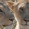 """A pair of Lions<br /> <br /> Guarding their cubs! <br /> <br /> We had an amazing experience during this tour as these two lions hunted gazelle, and made a kill right in front of our eyes.<br /> <br /> Mothers with young need to eat at least every 2 days, to keep up with the milk supply for the first 6 - 8 weeks of their cubs life.<br /> <br /> A hunt and a kill is anyone's dream catch in Africa, pure wild animals, no fences anywhere, all natural!<br /> <br /> Taken with the Swarovski Spotting Scope, STX with a 65mm lens, = 1200mm effective focal length.<br /> <br /> ray@raymondbarlow.com<br /> Tanzania Tours<br /> <a href=""""http://raymondbarlowworkshops.blogspot.ca/"""">http://raymondbarlowworkshops.blogspot.ca/</a><br /> <br /> Female Lions<br /> RJB Tanzania, Africa Tours<br />  <a href=""""http://www.raymondbarlow.com"""">http://www.raymondbarlow.com</a><br /> Canon EOS 70D ,Swarovski Spotting Scope 65mm = 1200mm Eff.<br /> 1/250s f11.5 iso400"""