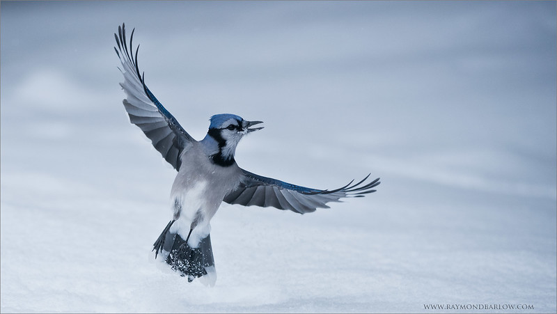 "Blue Jay in Flight<br /> Raymond's Ontario Nature Tours<br /> <br /> Several Jays in Northern Ontario entertained my guests over the last week of photography.<br /> Good fun and challenging!<br /> <br /> ray@raymondbarlow.com<br />  <a href=""http://www.raymondbarlow.com"">http://www.raymondbarlow.com</a><br /> Nikon D810 ,Nikkor 200-400mm f/4G ED-IF AF-S VR<br /> 1/6400s f/4.0 at 220.0mm iso800"