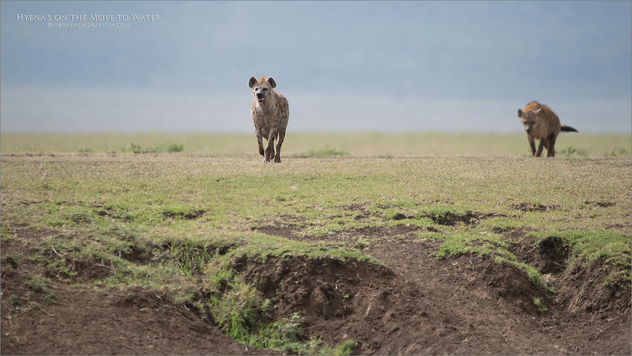 Love Africa!<br /> <br /> Our tour to the Ngorongoro Crater was a success<br /> <br /> Besides the Black rhino shoot, we had several opportunities to watch and photograph some very cool scenes.<br /> <br /> An entire Spotted Hyena Clan came to visit us as we were parked along side a small creek running through the bottom of the crater. Because of the bank on our side, we didn't get a good view of them drinking, but for me, this was a pretty nice view.<br /> <br /> If I remember right, there were at least 8 animals, maybe more, I plan to review my files later, and maybe pick out one more shot to edit - some day.<br /> <br /> thanks for looking, have a good day.<br /> <br /> raymond<br /> <br /> Hyenas on the Move for Water<br /> Raymond Barlow Photo Tours to Tanzania Wildlife and Nature<br /> Nikon D850 ,Nikkor 200-400mm f/4G ED-IF AF-S VR<br /> 1/8000s f/4.5 at 400.0mm iso800<br /> <br /> Africa, India, Ecuador, Florida and Wild Owls!