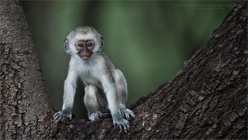 Vervet Monkey in Tanzania<br /> Tanzania, Africa<br /> <br /> ray@raymondbarlow.com<br /> Nikon D850 ,Nikkor 200-400mm f/4G ED-IF AF-S VR<br /> 1/500s f/4.0 at 400.0mm iso800