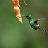 Green Thorntail in Flight<br /> Raymond's Ecuador Tours<br /> <br /> ray@raymondbarlow.com<br /> Nikon D810 ,Nikkor 200-400mm f/4G ED-IF AF-S VR<br /> 1/640s f/4.0 at 400.0mm iso2500