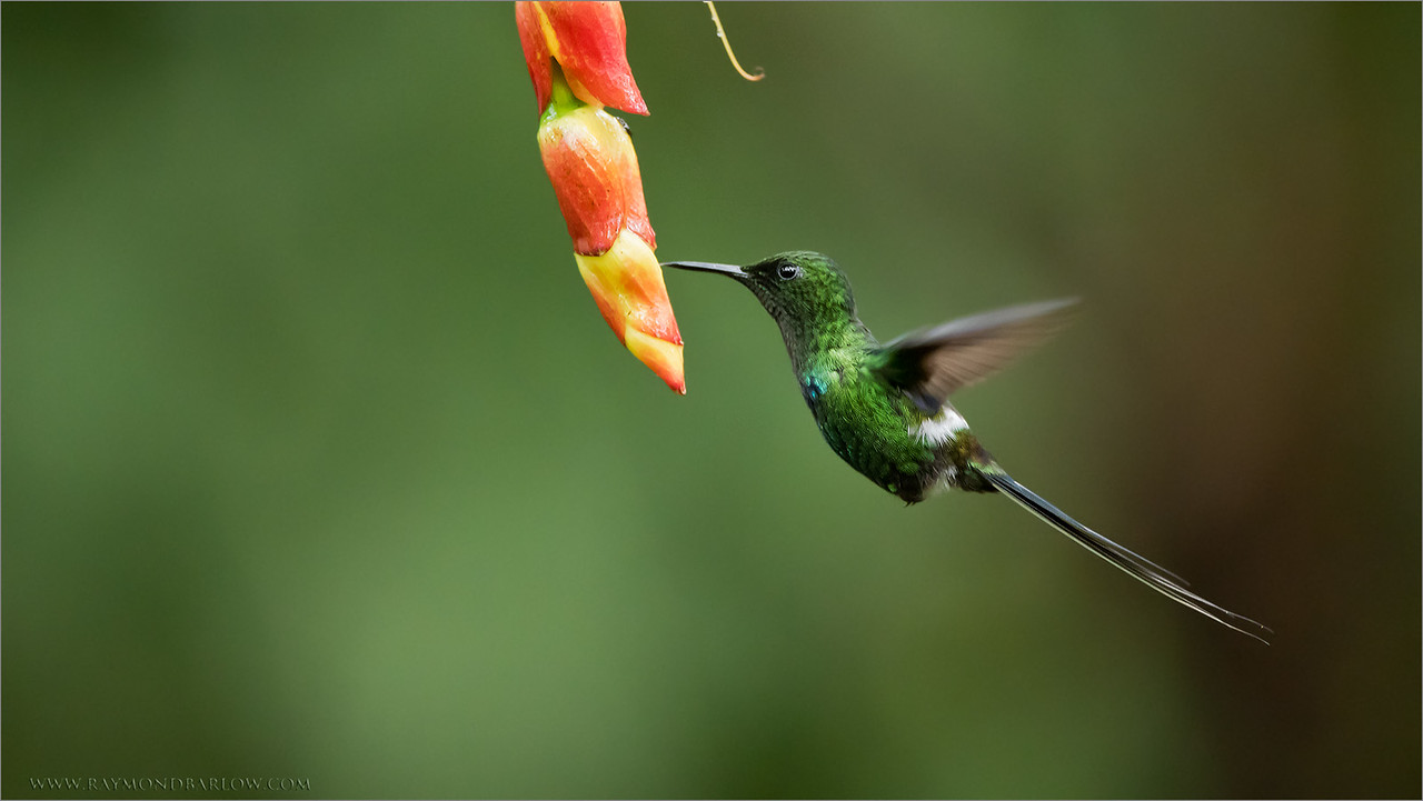 Green Thorntail in Flight<br /> Raymond's Ecuador Tours<br /> <br /> ray@raymondbarlow.com<br /> Nikon D810 ,Nikkor 200-400mm f/4G ED-IF AF-S VR<br /> 1/640s f/4.0 at 400.0mm iso2500