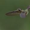Hummingbird<br /> Raymond's Ecuador Photography Tours<br /> <br /> ray@raymondbarlow.com<br /> Nikon D810 ,Nikkor 200-400mm f/4G ED-IF AF-S VR<br /> 1/1250s f/4.0 at 340.0mm iso2000