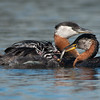 """Hungry Mouths need to be Fed!<br /> <br /> A local family of grebes are nesting in a local marina, the parents<br /> have their work cut out for them to keep the babies feed!<br /> <br /> Special thanks to Swarovski Spotting Scopes.<br /> <br /> New tours and workshops for wildlife photographers:<br /> <a href=""""http://raymondbarlowworkshops.blogspot.ca/"""">http://raymondbarlowworkshops.blogspot.ca/</a><br /> <br /> Have a great weekend! <br /> <br /> Raymond<br /> <br /> <br /> Red-necked Grebe Family<br /> RJB Wild Birds of Ontario Workshops<br />  <a href=""""http://www.raymondbarlow.com"""">http://www.raymondbarlow.com</a><br /> Canon EOS 70D ,Swarovski Spotting Scope - 95mm<br /> 1/1000s f9.5 iso500"""