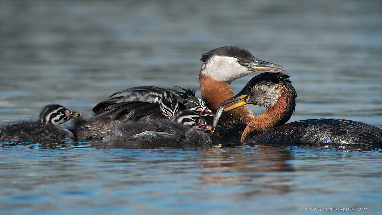 "Hungry Mouths need to be Fed!<br /> <br /> A local family of grebes are nesting in a local marina, the parents<br /> have their work cut out for them to keep the babies feed!<br /> <br /> Special thanks to Swarovski Spotting Scopes.<br /> <br /> New tours and workshops for wildlife photographers:<br /> <a href=""http://raymondbarlowworkshops.blogspot.ca/"">http://raymondbarlowworkshops.blogspot.ca/</a><br /> <br /> Have a great weekend! <br /> <br /> Raymond<br /> <br /> <br /> Red-necked Grebe Family<br /> RJB Wild Birds of Ontario Workshops<br />  <a href=""http://www.raymondbarlow.com"">http://www.raymondbarlow.com</a><br /> Canon EOS 70D ,Swarovski Spotting Scope - 95mm<br /> 1/1000s f9.5 iso500"