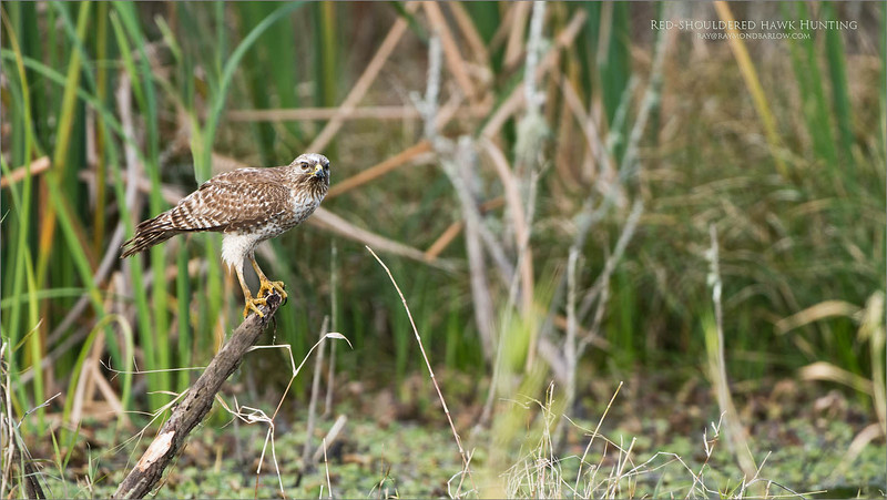 Love Florida Nature!<br /> <br /> We are getting to know these birds that hang out in the wetlands of Florida, realizing their comfort zone/s.  If we stay back 50-60 yards, there is a good chance this species will not flush.<br /> <br /> Many of these birds perch near the roadways that divide the marsh areas, so we have little choice but to flush them when we drive by - otherwise, if we sit and wait, someone will want to run over us!<br /> <br /> Awesome birds, beautiful, and very probably ... incredibly sick of us humans getting into their space!<br /> <br /> Red-shouldered hawk Hunting<br /> Orlando, Florida<br /> <br /> ray@raymondbarlow.com<br /> Nikon D850 ,Nikkor 200-400mm f/4G ED-IF AF-S VR<br /> 1/250s f/4.5 at 400.0mm iso160
