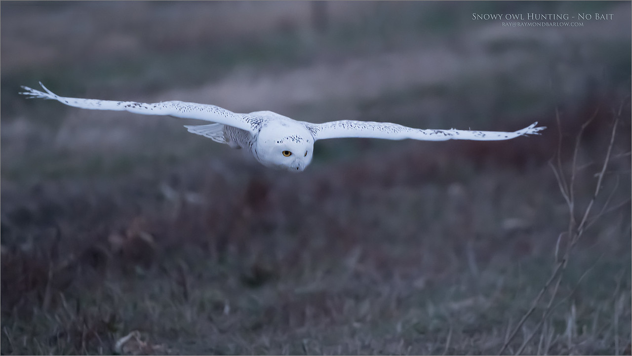 Snowy owl in Flight 10000 ISO<br /> Raymond's Ontario Nature Photography Tours<br /> <br /> ray@raymondbarlow.com<br /> <br /> Noise reduction in Photoshop applied.<br /> Nikon D850 ,Nikkor 200-400mm f/4G ED-IF AF-S VR<br /> 1/800s f/4.0 at 400.0mm iso10000