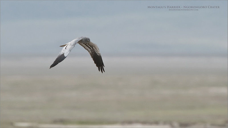 Montagu's Harrier <br /> <br /> Thank goodness for a little soft light when this guy flew by., another bird image taken at a fair distance, but I was able to recover the shot with the new D850 sensor.<br /> <br /> Such a cool name too ><br /> <br /> Montagu's Harrier in the Crater<br /> Raymond Barlow Photo Tours to Tanzania Wildlife and Nature<br /> <br /> ray@raymondbarlow.com<br /> Nikon D850 ,Nikkor 200-400mm f/4G ED-IF AF-S VR<br /> 1/3200s f/6.3 at 400.0mm iso1250